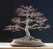 bonsaijapanlönn Royaltyfri Foto
