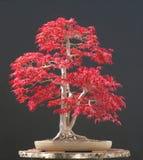 bonsaijapanlönn Fotografering för Bildbyråer
