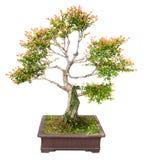 bonsaikinestree royaltyfri bild
