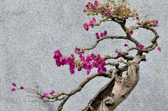 Bonsail tree of bougainvillea Royalty Free Stock Photo