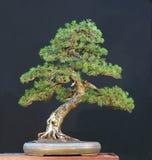 bonsaimugoen sörjer Royaltyfri Fotografi