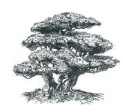 Bonsaisörja-trädet med rotar Royaltyfri Foto