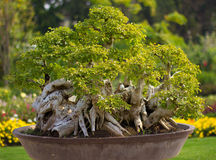 Bonsais. The best bonsai in the garden Royalty Free Stock Photo