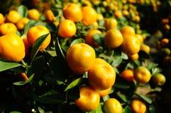 Bonsais anaranjados Imagen de archivo libre de regalías