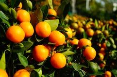 Bonsais anaranjados Foto de archivo libre de regalías
