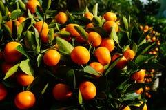 Bonsais anaranjados Imágenes de archivo libres de regalías