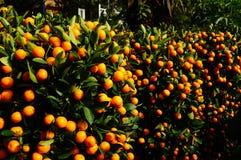 Bonsais anaranjados Fotografía de archivo