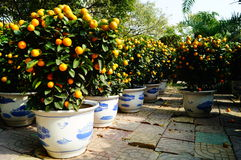 Bonsais anaranjados Fotografía de archivo libre de regalías