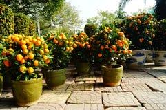 Bonsais anaranjados Imagenes de archivo