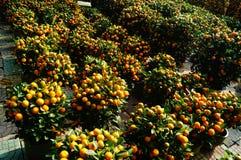 Bonsais anaranjados Fotos de archivo