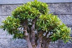 Bonsais-Baum Lizenzfreie Stockbilder