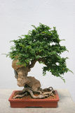 Bonsais-Baum stockfoto