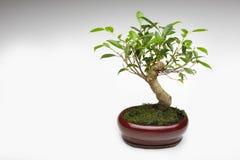 Bonsais-Baum Lizenzfreies Stockfoto