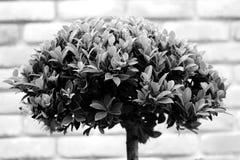 Bonsais bepflanzen im grauen Ton mit Büschen Stockbild
