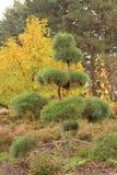 Bonsais bonitos do jardim no jardim do outono Foto de Stock Royalty Free