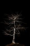 Bonsais con la iluminación de arriba Foto de archivo libre de regalías