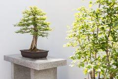 Bonsais de Cypress calvo fotografia de stock royalty free
