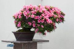 Bonsais de la azalea de Satsuki en auge floreciente Imagen de archivo libre de regalías