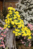 Bonsais de las flores del crisantemo Imágenes de archivo libres de regalías