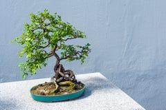 Bonsais de Peashrub do chinês imagens de stock royalty free