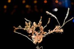 Bonsais del árbol de pino de Brown Fotos de archivo