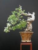 Bonsais del espino en la floración Fotografía de archivo