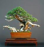 Bonsais del pino de Mugo Fotografía de archivo