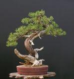 Bonsais del pino de Mugo Imagen de archivo libre de regalías