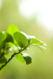 Bonsais del retusa del Ficus Imagen de archivo libre de regalías