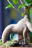 Bonsais del retusa del Ficus Imagen de archivo