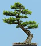 Bonsais der japanischen Eibe stockbilder