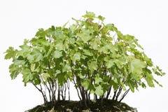 Bonsais der Sykomore (Acer-pseudoplatanus) Stockbild