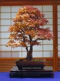 Bonsais des japanischen Ahornholzes Stockbild