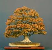 Bonsais des japanischen Ahornholzes Stockfoto