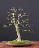 Bonsais do Euonymus no inverno Imagem de Stock