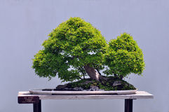 Bonsais do olmo chinês Imagem de Stock Royalty Free