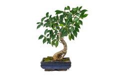 Bonsais, Ficus retusa, in einem Marmortopf, isoliert Zimmerpflanze lizenzfreie stockfotos