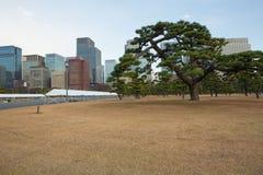Bonsais gigantes, palácio imperial, Tóquio fotografia de stock
