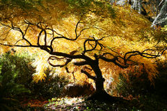 Bonsais-japanisches Ahornholz Lizenzfreie Stockfotografie