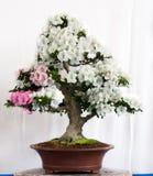Bonsais mit weißen Blumen Stockbild