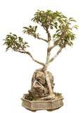 Bonsais pflanzen in einem Potenziometer Lizenzfreie Stockfotografie