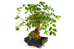 Bonsais. Pouca árvore verde Fotos de Stock
