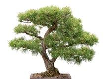 Bonsais, árvore de pinho no fundo branco Foto de Stock