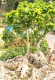 Árvores dos bonsais fotos de stock