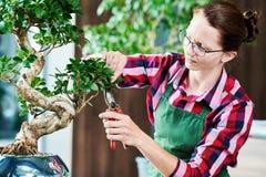 Bonsais tendendo o crescimento do houseplant Árvore pequena de poda Fotografia de Stock Royalty Free