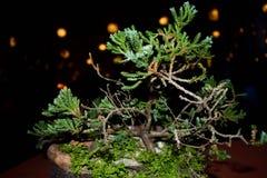 Bonsais verdes del árbol de pino Imágenes de archivo libres de regalías