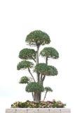 Bonsaisbaum getrennt auf Weiß stockfotografie