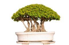 Bonsaisbaum getrennt auf weißem Hintergrund Stockfotografie