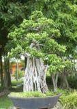 Bonsaiträd. Royaltyfri Foto