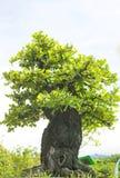 Bonsaiträd. Fotografering för Bildbyråer
